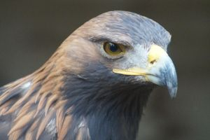 Holiday 2012 - Golden Eagle by cfowler7