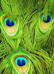 Peacock feathers by jezebel144