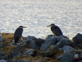 Herons Watching Each Other by wolfwings1