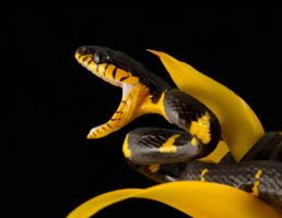 Young Mangrove snake by AngiWallace