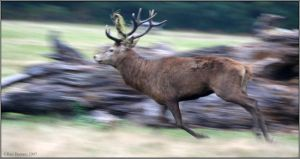 Stag Running by CoupeKid