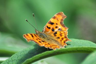 Painted Lady 2 by Dicky-Mint