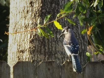 Bluejay by SkyeWrightPhotograph