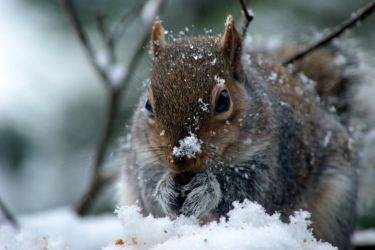 Snow on Nutkin's nose... by cricketumpire
