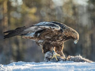 Wild Golden Eagle with Pine Marten by Jamie-MacArthur