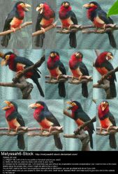 Black and Red Bird Stock by Melyssah6-Stock
