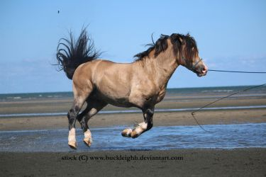 Buckskin welsh pony canter / float / fly stock 3 by buckleighh