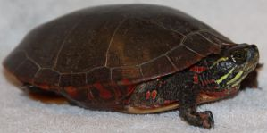 Painted Turtle Stock 5 of 11 by Lovely-DreamCatcher