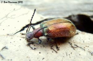 Honeybrown Beetle by BreeSpawn