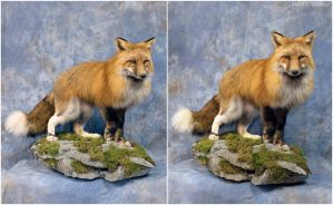 Alaskan Red (1) by WeirdCityTaxidermy
