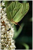 Butterfly 02 by gregorland
