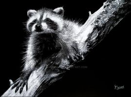 Baby Raccoon by Naterman