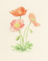Poppies by Red-Clover
