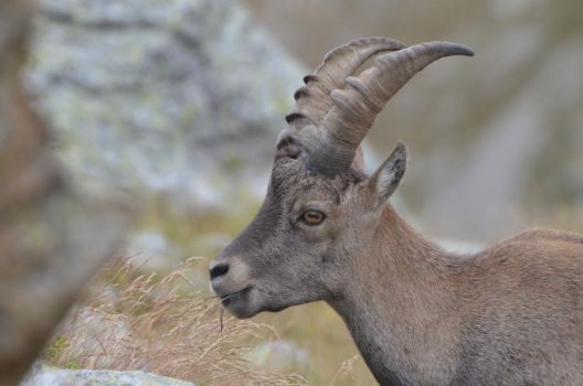Portrait of young Alpine ibex eating by A1Z2E3R