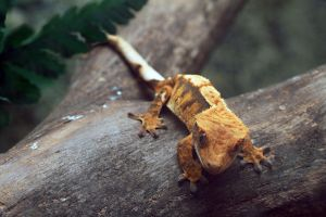 Crested Gecko 3 by SnowPoring