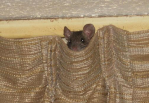 Small Rat sitting in Curtains by SeeThirty