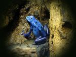 Blue frog by UdoChristmann