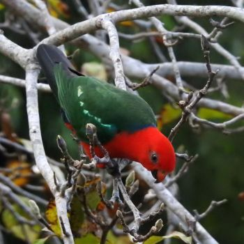 King parrot 1 - Montville by wildplaces