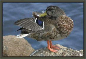 Duck by caro77