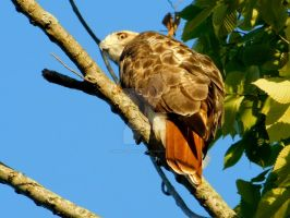 Red Tailed Hawk I Can See For Miles by NancySparks-55