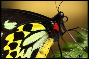Birdwing Butterfly 3 by Vamppy