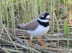 Needle felted Common ringed plover by Hillamer