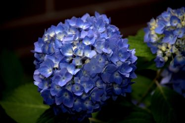 Hydrangea Blue by TheDr0p