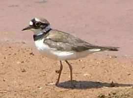 Little Ringed Plover by Faunamelitensis