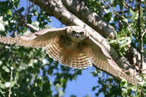 Great horned owl in flight by wildfotog