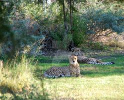 Cheetahs by oddjester