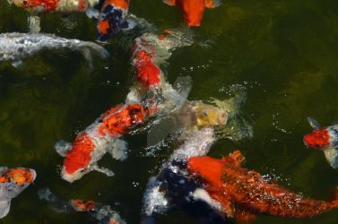 Koi Fish by aeriefeeling