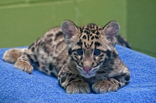 Clouded Leopard Cub 0114 by robbobert
