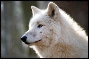 arctic wolf by morho