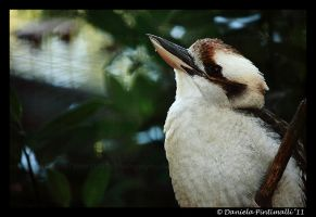 Kookaburra Portrait II by TVD-Photography