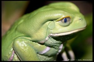 Waxy Monkey Tree Frog 1 by Vamppy