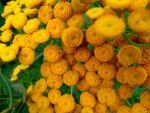tansy by Mittelfranke