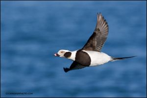 Long-Tailed Duck banking by gregster09