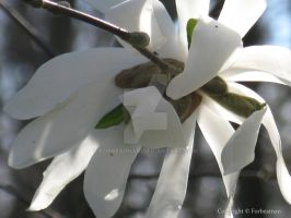 Star Magnolia by Forbearnan