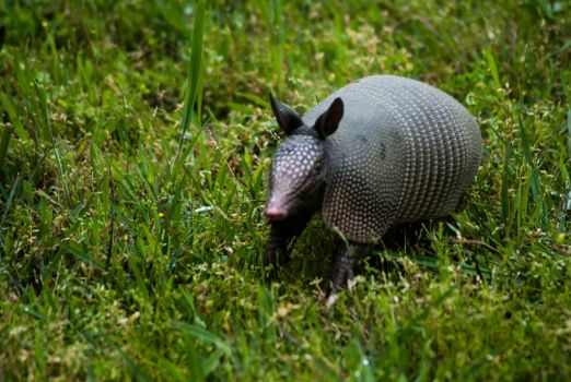 Dillo on the move by WildTurkey99