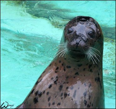 Harbor seal: hello for Lunchi by woxys