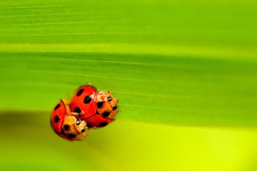 Ladybugs by sharpion