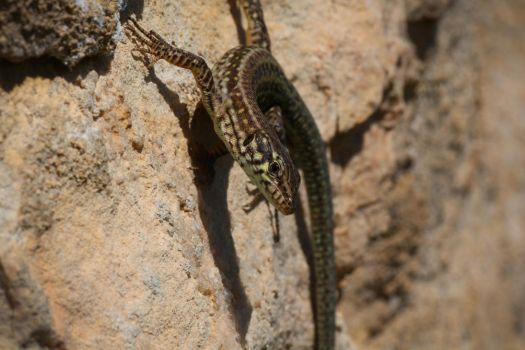 Small lizard by Oddslane