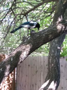 Magpie in our Apricot Tree by CherokeeGal1975