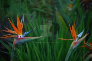 Birds of Paradise - Flower 02 by Sageous