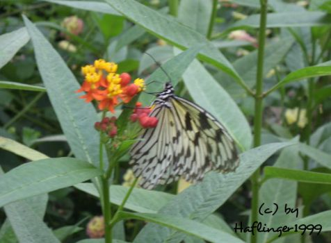 Butterfly by Haflinger1999