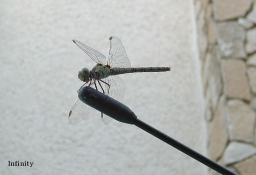 Dragon Fly by Infinity999