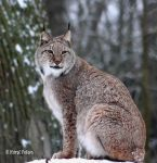 Luchs / Lynx 14 by bluesgrass