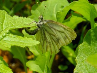 Egg laying Common White by Stilleschrei