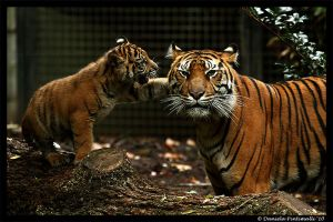Tigers: 100k hits by TVD-Photography