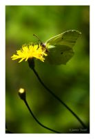 Brimstone Butterfly by theFouro